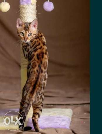 Availabile NOW TOP Imported Bengal kittens