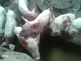 Piglets Large white