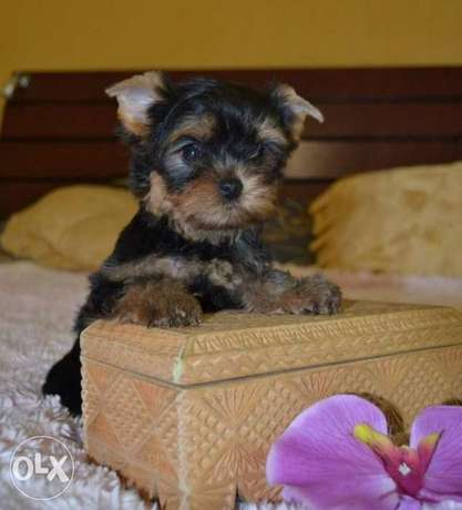 Mini Yorkshire puppies, imported with all documents.. Top quality