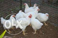 Large Broiler Chickens for Sale