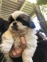 4 male Picaniese pups for sale R1800.00 each