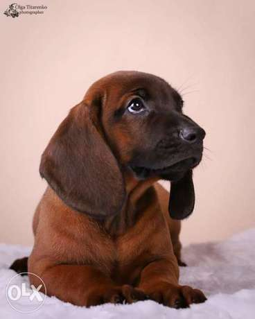 Availabile NOW Top Bavarian Mountain Hound puppies