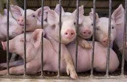 Pure German agric pigs with no fats