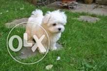 Maltese Puppies Pure Breed