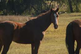 Saddler x, gelding, untrained