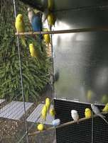 Show Budgies-Various