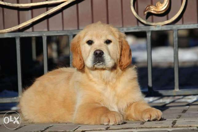 Imported golden retriever puppies, highest quality and best price