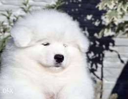 Samoyed puppies with Passport and microchip