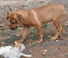 Boerboel breed for sale