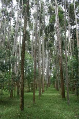 Eucalyptus plantation on sale near murang'a town Muranga Town - image 1