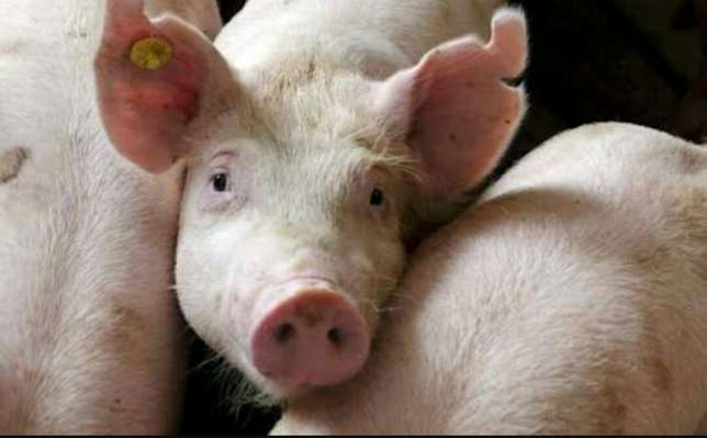 Pork, Piglets, Boars and Sows Ruaka - image 1