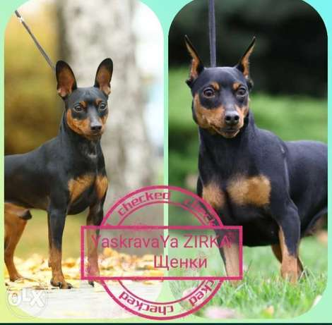 Mini pinscher puppies imported from Ukraine with Pedigree