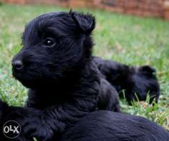 Beautiful Scottish Terrier Puppies