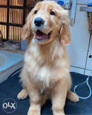 Enormous size Bearface Golden puppies