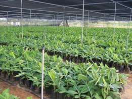 Tissue culture banana seedligs