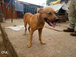 Pitbull stud(mating) not for sale