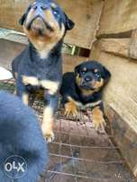 Rottweiler puppies available for sale(MALE)