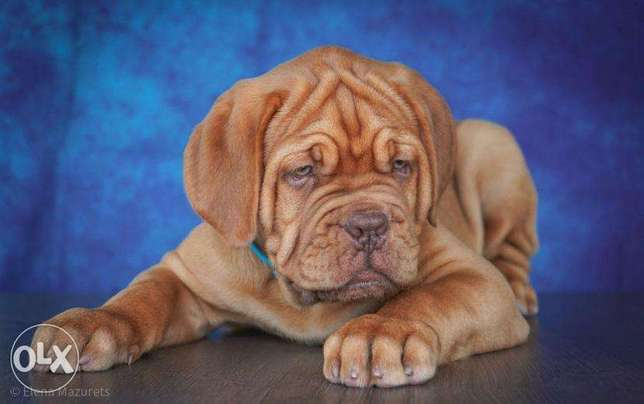 Imported French Mastif puppies فرينش ماستيف