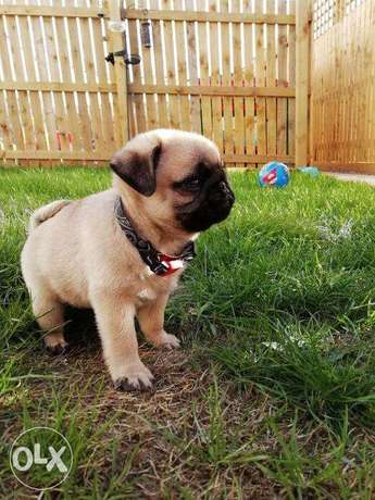 Pugs puppies for sale ساجر -  1
