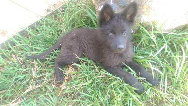 German shephard puppies for sale Roysambu - image 3