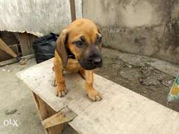 Boerboel puppy for sell at an affordable price