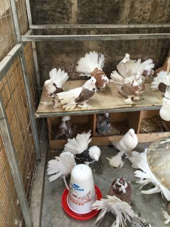pigeons for sell at reasonable price South C - image 2