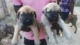 Brindle and fawn boerboel pups for sale