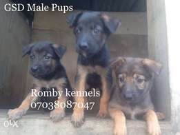 Male GSD Pups 6weeks