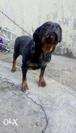 Adult female Boxhead Rottweiler for sale Jos - image 1