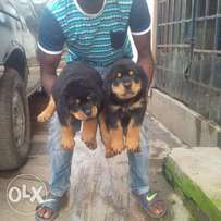 Adorable Male Rottweiler Pup