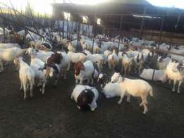 Goats for sale in good condition
