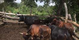 Young F2 Nguni Bulls For Sale From 5yrs Old Each