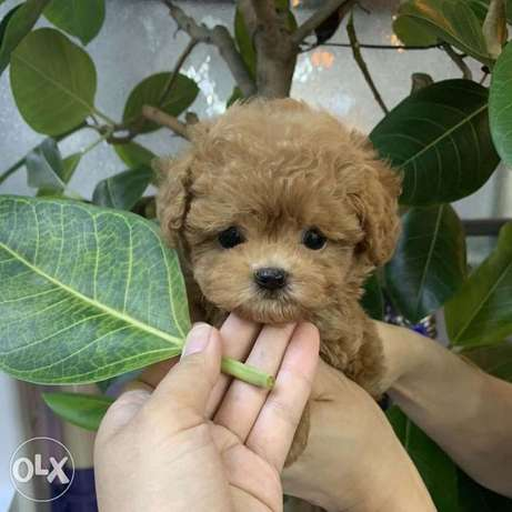 Female Poodle puppy for sale