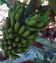 Fresh Farm Bananas