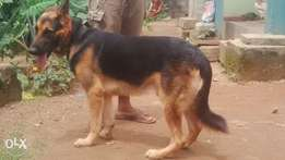 adult male gsd available