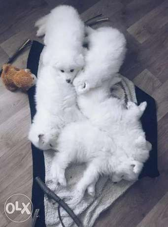 Samoyed Puppies Male And Females Available