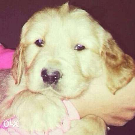 golden retriever puppies for sale.. top quality مدينتي -  2