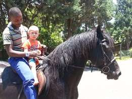 Purebred tame friesian stallion for sale