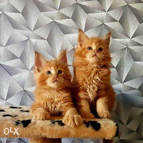 Purebred Maine Coon kittens, boys and girls, playful, gentle