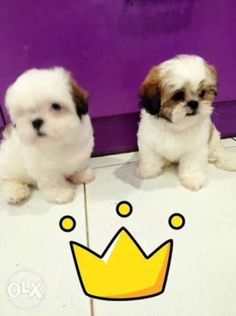 Imported Shihtzu Puppies From Ukraine Top Quality