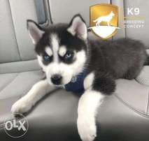 Husky puppies (free delivery)