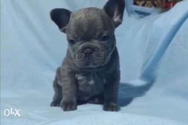 BEST imported blue French Bulldog puppies with all documents.. مدينة الرحاب -  1