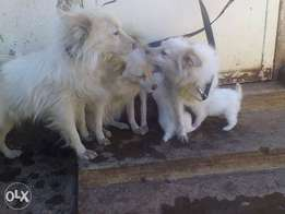 selling white pets