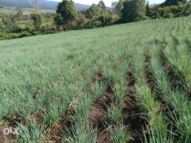 Onions Bomet Town - image 2