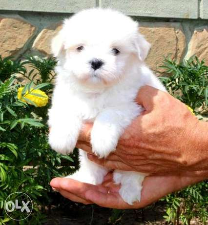 Arriving soon.. Imported mini maltese puppies.. 600 grams