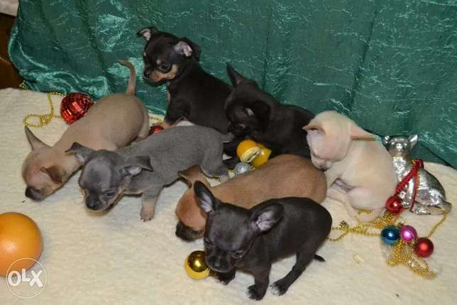Chihuahua Puppies(We Accept LBP)