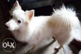 Male Samoyed 4 sale