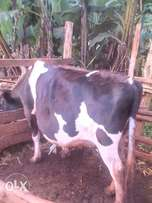 Fat cow for meat