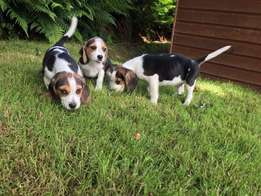 Beautiful Litters Of Beagle Puppies . Great Companion !!