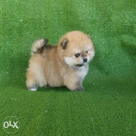Pomeranian super high quality puppies for sale